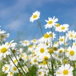 White daisies - Stock Photo