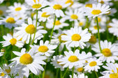 White daisies — Stock Photo