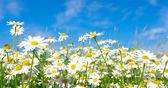 White daisies — Stockfoto