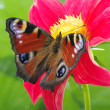 colorful butterfly — Stock Photo #19750719