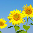 Sunflowers — Stock Photo #20135281