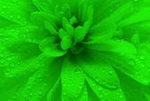 Petals with drops — Stock Photo
