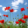 Red poppies - Foto Stock