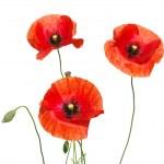 Постер, плакат: Red poppies