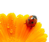 Ladybug on a flower — Stock Photo
