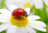 Joaninha em uma flor — Fotografia Stock