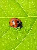 Coccinelle sur une feuille verte — Photo