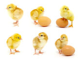 Chicken collection — Stock Photo