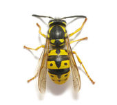 Wasp — Stock Photo