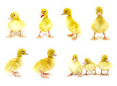 Ensemble de canards — Photo