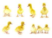 鸭子一套 — 图库照片