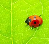 Ladybug on a green leaf — Stock Photo