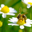 Bee on flower — Stock Photo #25253107