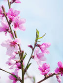 Pink blossoms — Stockfoto