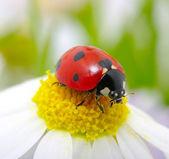Ladybug on a flower — Stock Photo
