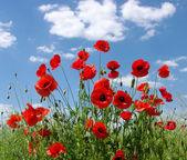 Red poppies — Foto de Stock