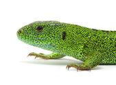 Lagarto verde — Foto de Stock