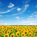 Sunflowers  — Stock Photo #28630791
