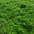 Background of a green grass — Foto de Stock