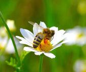 Bee on flower — Stockfoto
