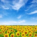 Sunflowers — Stock Photo #30144179