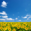 Sunflowers field — Stock Photo #31677323