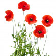 Red poppies — Stock Photo #32392467