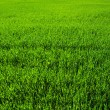 Background of a green grass — Stockfoto