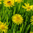Yellow dandelion  — Foto de Stock