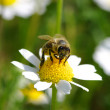 Bee on flower — Stock Photo #33976677
