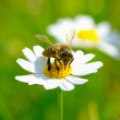 Bee on flower — Stock Photo #33977265