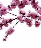 Rosa fiori — Foto Stock
