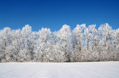 Frosted trees — Stock Photo