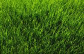 Grass background — Stock Photo