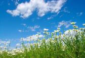Bílý sedmikrásky — Stock fotografie
