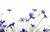 синие васильки — Стоковое фото