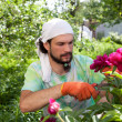 Man cutting the peony bush with secateurs — Stock Photo #13363733