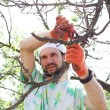 Stock Photo: Trimming of trees with secateurs