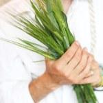 espigas de trigo verde na mão — Foto Stock