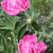 Pink peony flowers in garden — Stock Photo