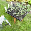 Stock Photo: Seedlings in the garden