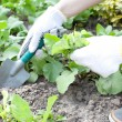 Woman with shovel working in the garden bed — Stock Photo #13363920