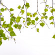 Linden branch with new leaves — Stock Photo #13729544