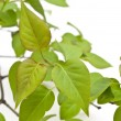 Linden branch with new leaves — Stock Photo