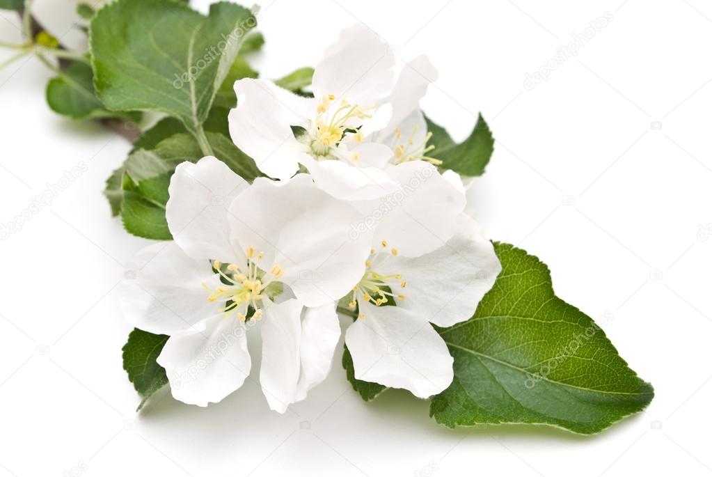 Apple blossom isolated on white — Stock Photo #13732380