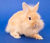 Rabbit on Blue — Stock Photo