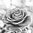 Rose in black and white — Stock Photo #20126349