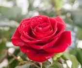 Una rosa rossa. — Foto Stock