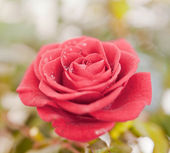 A red rose. — Stock Photo