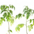 Tomato plant on white background — Stock Photo #24429983
